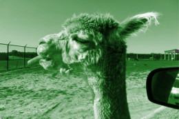A llama as it would look under only green light.  What do you think it is eating?