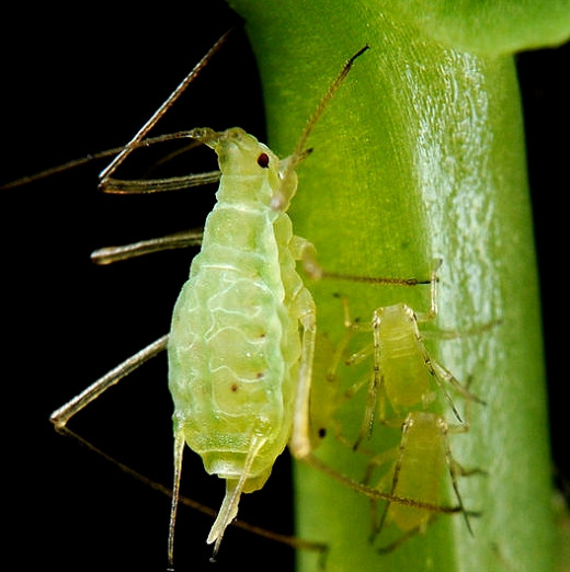 All the aphids are female and reproduction is effectively cloning with eggs and larvae developing inside the female