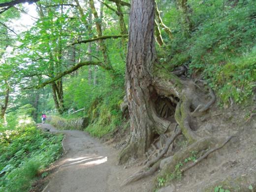 Weird Trees on Multnomah Falls Walking Trail