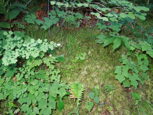 Plants on Multnomah Falls Walking Trail