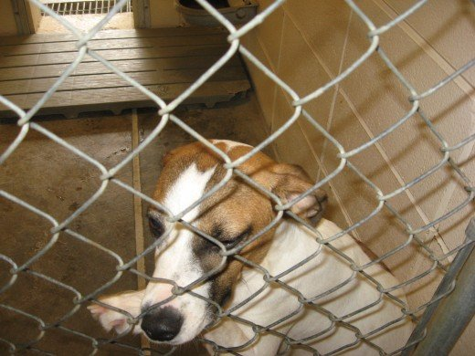 Animal Shelters often have a large selection of dogs.