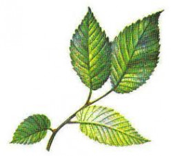 Slippery Elm Benefits