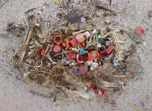 The decomposed body of a sea bird showing the contents of its stomach.  Notice that the entire bird is decomposing, yet the plastic looks completely unaltered.