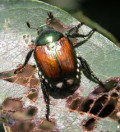 Got Japanese Beetles?  You Need Catbirds!