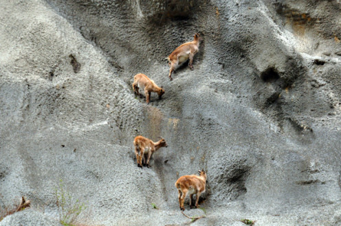 Sure-footed like I have never seen in my life before - Mountain Goats spotted on the way to Gangotri