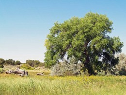 Beautiful, mature Cottonwood in the Wetlands.