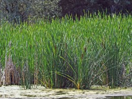 Broad-leaved Cattails in the Wetlands