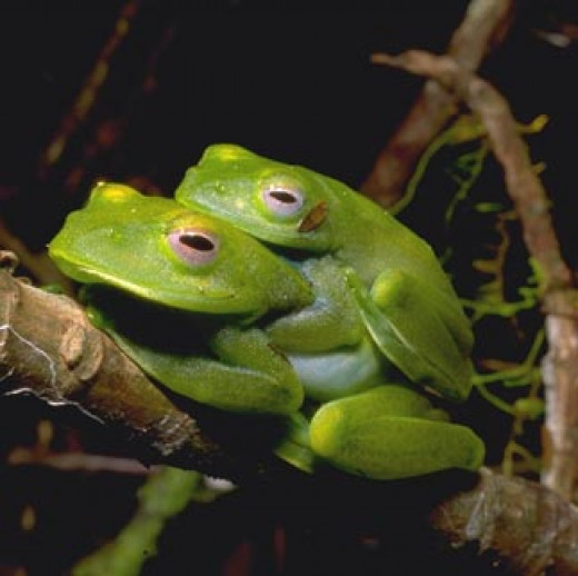 Frogs are the amphibians people are most familiar with