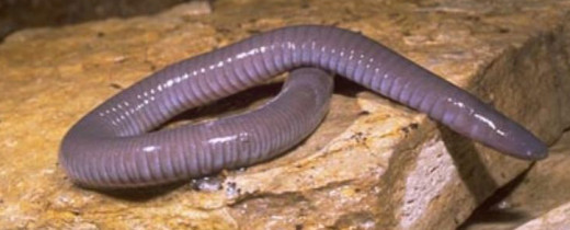 Despite appearances, this caecilian is an amphibian, not a worm!