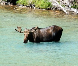 Moose in Glacier National Park