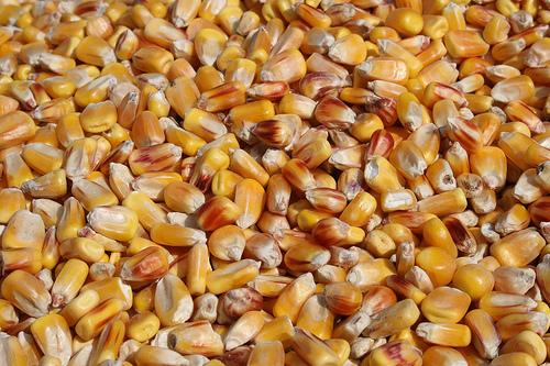 Kernels of corn, pre milling