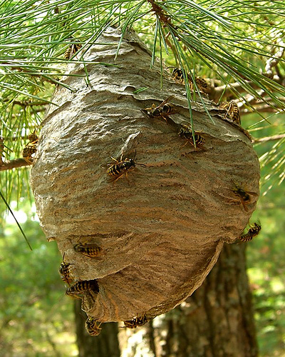 This hornet's nest is quite large and may be too big to handle.  You might should call in a professional if you need to remove it.