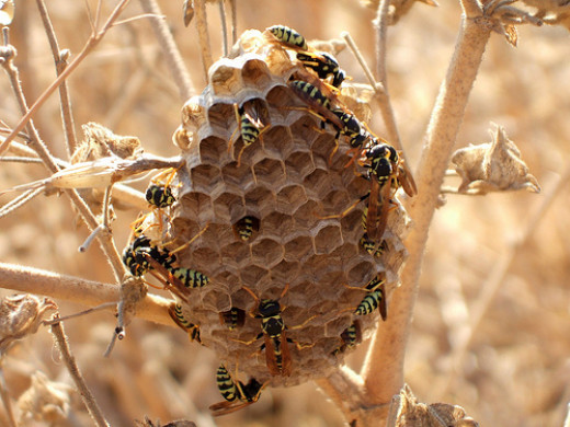 Wasp nests can be built almost anywhere!