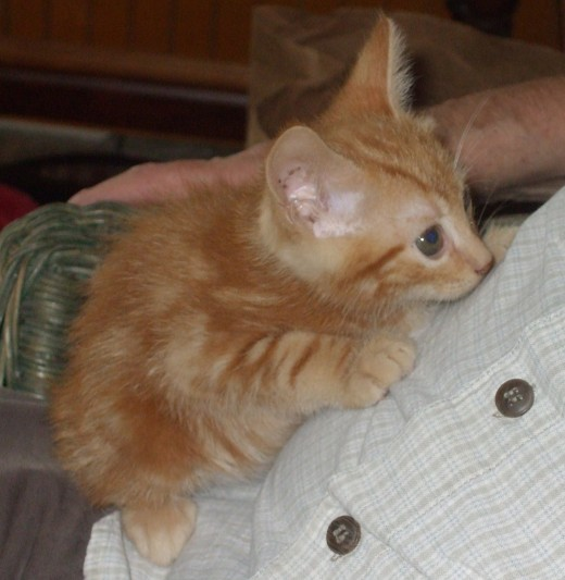 This kitten at age 8 weeks has complete trust in its human family members.