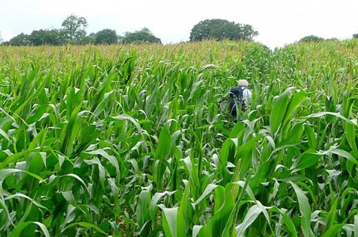 Commercial crop of corn