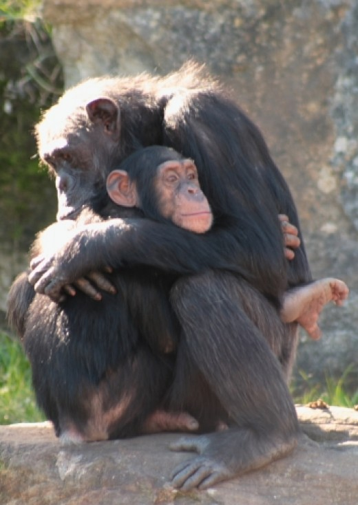 These chimps enjoy the kind of friendship Gregoire enjoyed in his golden years. (See photo credits at end.)