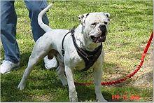Bully style American Bulldog