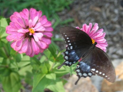 Zinnias attract butterflies