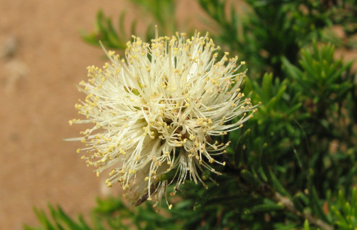 Native coastal shrub,  Leeuwin National Park, Western Australia.