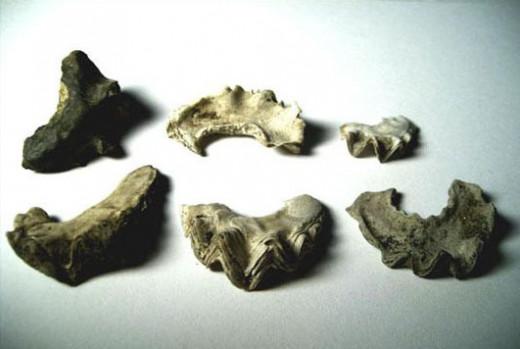 Figure 9.  Agerostrea mesenterica.