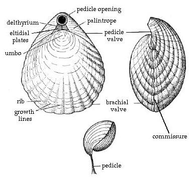 Figure 10: Braciopod Morphology (Clarkson, 1993).