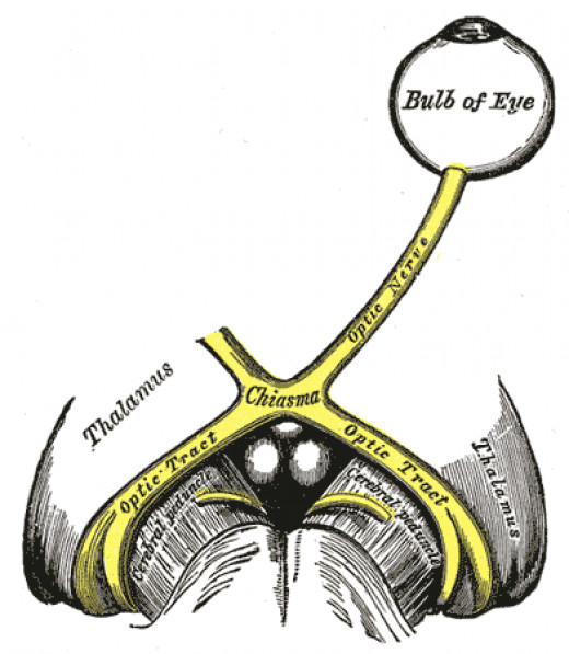The left optic nerve and the optic tracts.
