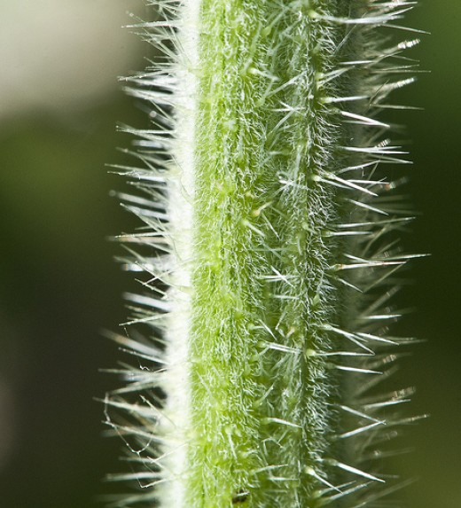 Close up of stinging nettle hairs or the 'stingers' on a stem