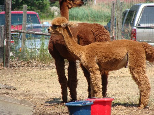 The alpacas on the farm.