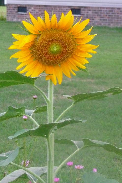 A showy Sunflower from my garden!