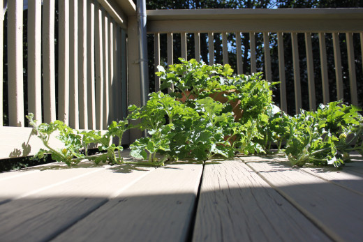 Sugar Baby Watermelon vines growing on my deck