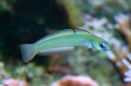 The zebra fish is one of nature's most amazing secret healers.