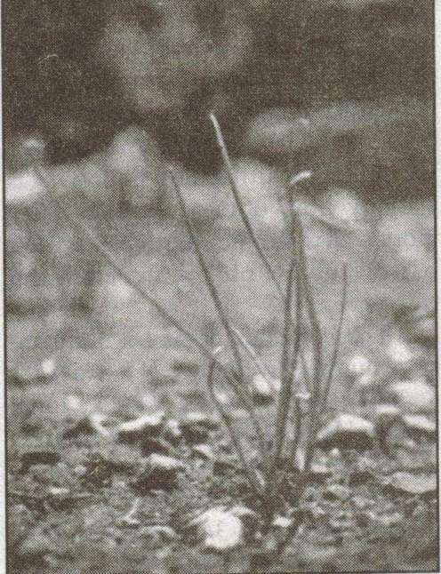 Short stalks of wild onion.