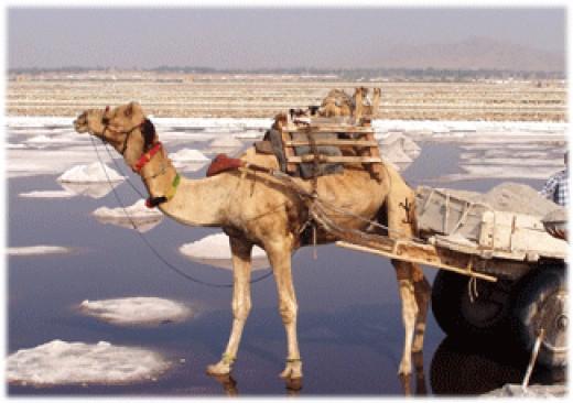camel in SAMBHAR LAKE