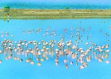 Flamingos visiting Sambhar lake