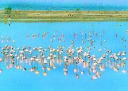 Flamingos visiting Sambhar lake