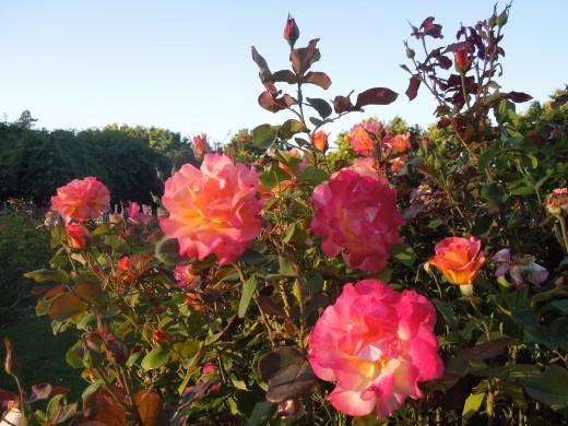 Roses in Municipal Rose Garden in San Jose CA