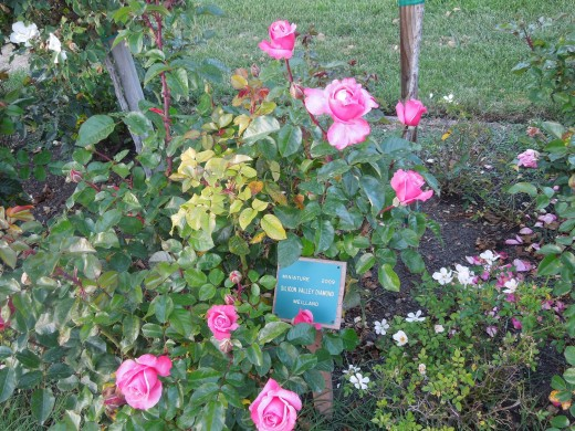 Pink Roses in Municipal Rose Garden in San Jose CA