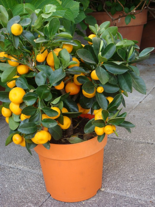 "Close up of the young kumquat when it was making itself at home. ""The English name 'kumquat' derives from the Cantonese pronunciation gam1 gwat1."""