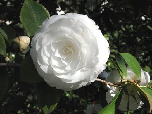 Another beautiful Camellia