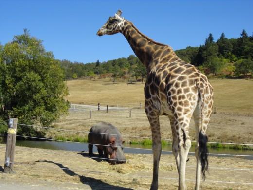 "Giraffe came to ""talk"" to hippo"
