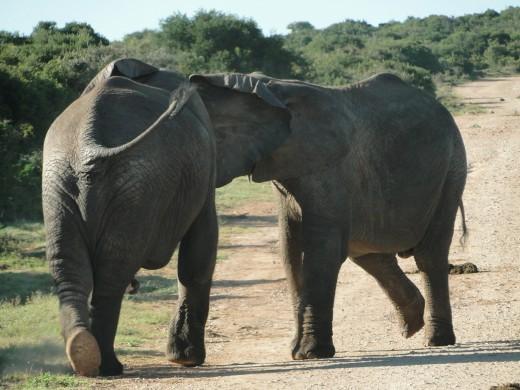 Elephants on road - Addo