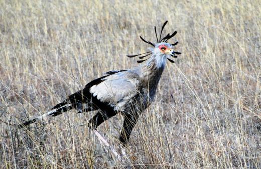 Seretary Bird - Mt Zebra Game Reserve, in full breeding colors