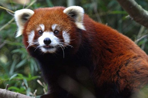 This was a photo taken at the Nashville Zoo. Red Pandas do well in zoo settings.