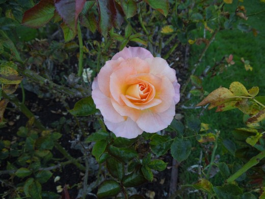 A Light Pink and Yellow Rose in Municipal Rose Garden in San Jose CA