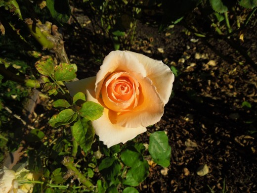 A Yellow Orange Rose in Municipal Rose Garden in San Jose CA