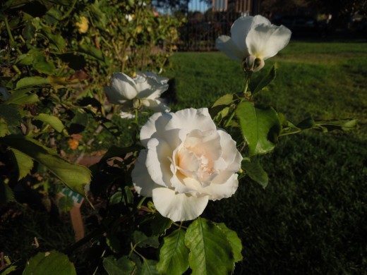 White Roses in Municipal Rose Garden in San Jose CA