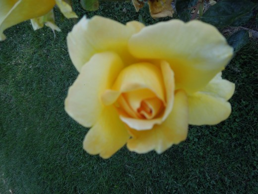 A Yellow Rose in Municipal Rose Garden in San Jose CA