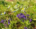 Wild Flower Natural Wonder-Namaqualand
