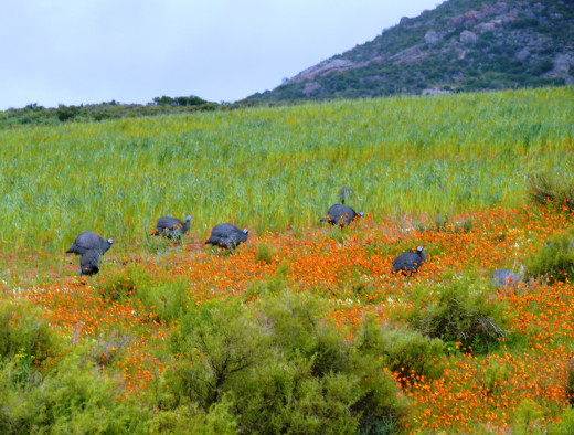 Flowers and Guinea Fowl