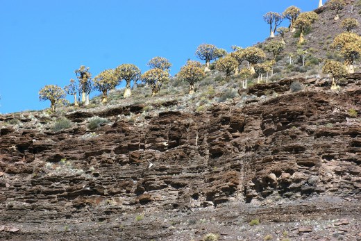 Kokerboom Forest-Nieuwoudtville, Namaqualand